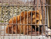 the severity of life in captivity in one glance bear Royalty Free Stock Image
