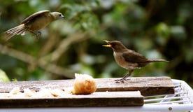 Severo più uccelli da atterrare Immagine Stock Libera da Diritti