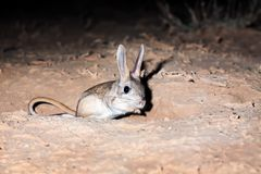Severtzov`s jerboa Allactaga severtzovi stock photos
