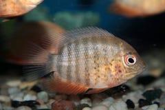Severum aquarium fish Royalty Free Stock Photography