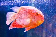 Severum Cichlasoma в аквариуме Стоковые Изображения RF