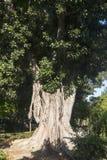 Sevilla Andalucia, Spain: old big tree Royalty Free Stock Photo