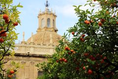 Seville cathedral and orange tree, a Symbol of Seville and Spain.  Stock Photos