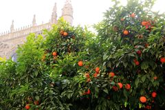 Seville cathedral and orange tree, a Symbol of Seville and Spain.  Stock Images