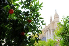 Seville cathedral and orange tree, a Symbol of Seville and Spain.  Royalty Free Stock Photography