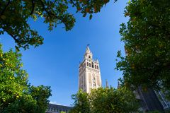 Seville Cathedral and trees full of oranges. Spain. stock photo