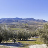 Seville Landscape. Olive groves Royalty Free Stock Photography