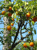 Seville Oranges. Growing on a tree in Seville, Spain Royalty Free Stock Images