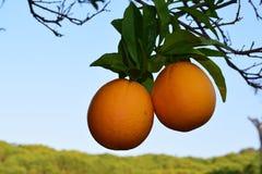 Seville pomarańcze Obrazy Royalty Free