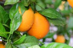 Seville pomarańcze Obraz Stock