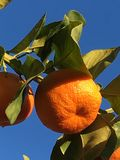 Seville& x27; s sinaasappel Stock Foto