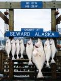 Seward,阿拉斯加,美国- 2009年6月3日:垂悬的大比目鱼在Seward Ha 库存照片