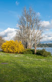 Seward Park Tree and Bush 2. A tree and yellow bush stand out at Seward Park in Seattle, washington. It is Spring Royalty Free Stock Photos