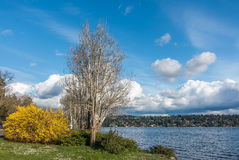 Seward Park Tree and Bush. A tree and yellow bush stand out at Seward Park in Seattle, washington. It is Spring Stock Image