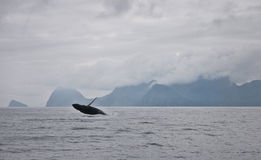 Seward Whale in Alaska Breaching Stock Photography