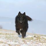 Sex år gammal Groenendael spring i vinter Arkivfoto