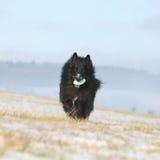 Sex år Groenendael spring med leksaken i vinter Arkivfoto