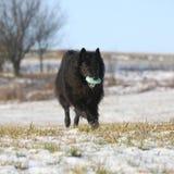 Sex år Groenendael spring med leksaken i vinter Arkivbild