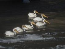 Sex amerikanska vita pelikan i vatten Arkivfoto