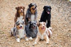 Sex australiska herdehundkapplöpning royaltyfri foto