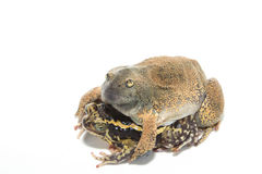 Sex bullfrog  Mating Stock Photo