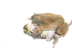 Sex bullfrog  Mating Royalty Free Stock Photos