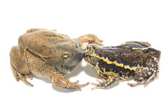 Sex bullfrog  Mating. Isolate on white Royalty Free Stock Images
