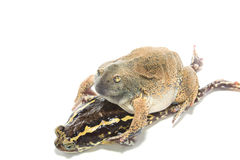 Sex bullfrog  Mating Royalty Free Stock Image