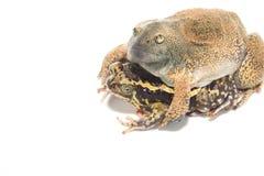 Sex bullfrog  Mating Stock Photos