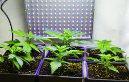 Sex cannabisväxter Arkivbilder
