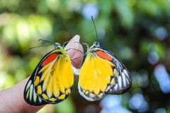 Sex of Common jezebel butterfly Royalty Free Stock Photo