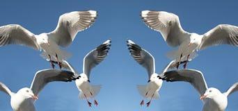 Sex flygaSeagulls Arkivfoton