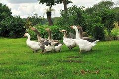Sex gäss i trädgård Royaltyfri Fotografi