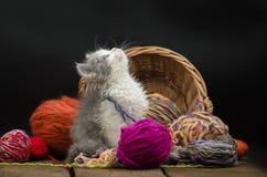Sex gamla kattunge för veckor spelar med bollen av handarbete i åtskilliga färger Gullig kattunge och boll av tråden Grå nätt kat royaltyfri fotografi