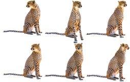 Sex gepardsammanträde royaltyfri foto