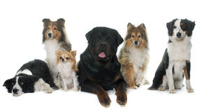 Sex härliga hundkapplöpning Royaltyfri Bild
