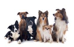 Sex hundkapplöpning arkivbild
