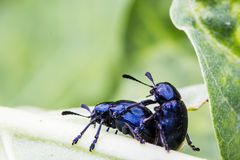 Sex of insect Stock Photo