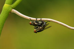 Sex insects Stock Image
