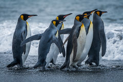 Sex konungpingvin som tillsammans rusar in mot havet arkivfoton
