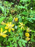 Sex kronblad gula Flowes i en äng royaltyfria bilder