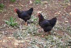 Sex link. poultry. Black sex-link, red sex-link. Black Rock Chicken. Black rock hens. Stars. Royalty Free Stock Photos