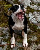 Sex månadvalp av gammal engelsk bulldogg, i roligt uttryck royaltyfria foton