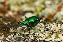 Sex-prickigt Tiger Beetle slut upp Arkivfoto