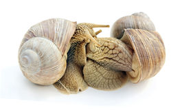 Sex of snails. Royalty Free Stock Photo