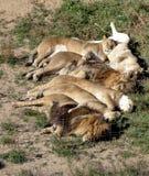 Sex sova lejon Royaltyfri Foto
