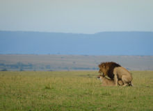 Sex with teeth. Lions mating in the Masai Mara Royalty Free Stock Photo
