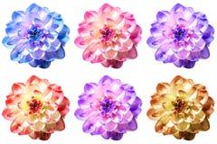 Sex utmärkta blommor av dahlia i olika färgskuggor Royaltyfri Illustrationer