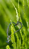 Sex of  wild  yellow blue  dragonfly Royalty Free Stock Photography