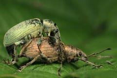 Sexe de coléoptère Photo stock